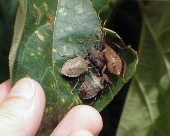 How do we beat the stink bug?